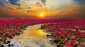 Sunshine rising lotus flower in Thailand. There is a path that leads down the middle towards the sunset.