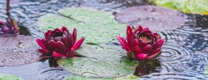 Beautiful bright Nature Floral Background with waterlily. Red lotus flower growing in pond, with copy space for text